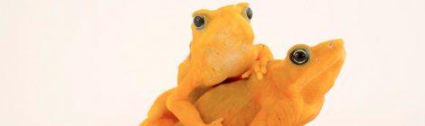 LAB 2017: El rescate de ranas en peligro de extinción